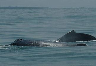 Avistamento de Baleias Jubarte