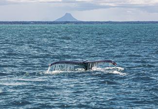 Observação de Baleias Jubarte - Saída de Porto Seguro